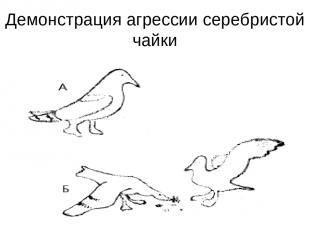 Демонстрация агрессии серебристой чайки