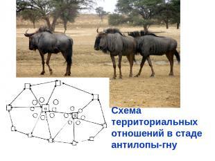 Схема территориальных отношений в стаде антилопы-гну