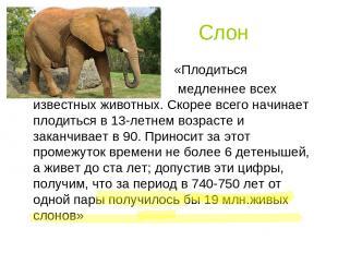 Слон «Плодиться медленнее всех известных животных. Скорее всего начинает плодить