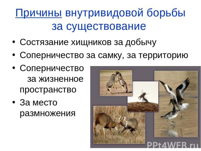 Причины внутривидовой борьбы за существование Состязание хищников за добычу Соперничество за самку, за территорию Соперничество за жизненное пространство За место размножения