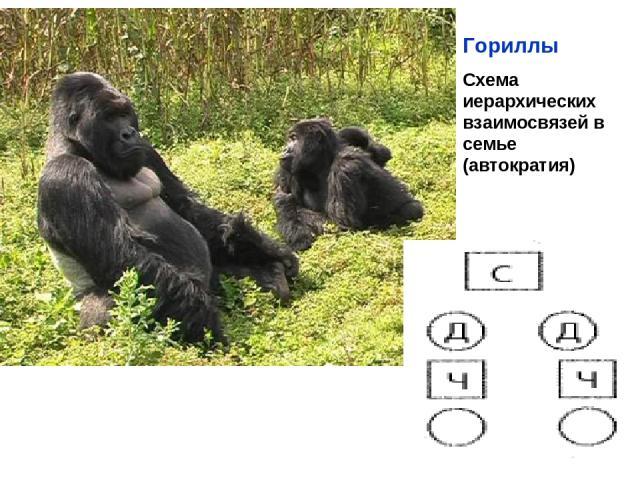 Гориллы Схема иерархических взаимосвязей в семье (автократия)
