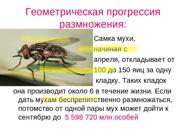 Геометрическая прогрессия размножения: Самка мухи, начиная с апреля, откладывает от 100 до 150 яиц за одну кладку. Таких кладок она производит около 6 в течение жизни. Если дать мухам беспрепятственно размножаться, потомство от одной пары мух может …