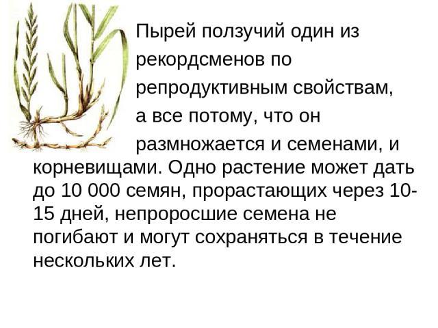 Пырей ползучий один из рекордсменов по репродуктивным свойствам, а все потому, что он размножается и семенами, и корневищами. Одно растение может дать до 10 000 семян, прорастающих через 10-15 дней, непроросшие семена не погибают и могут сохранять…