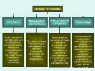 Методы селекции Отбор Гибридизация (скрещивание) Искусственный мутагенез Полипло