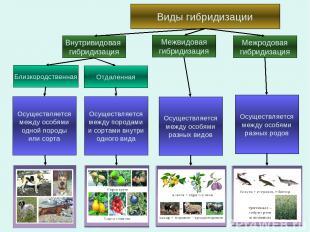 Виды гибридизации Внутривидовая гибридизация Отдаленная Близкородственная Межвид