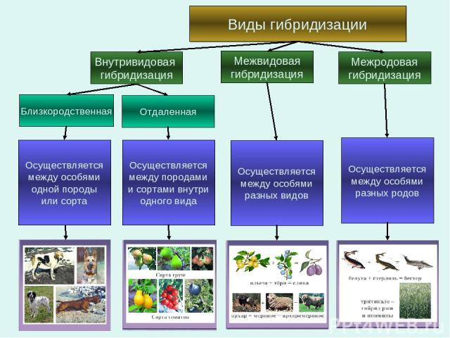 Виды гибридизации Внутривидовая гибридизация Отдаленная Близкородственная Межвидовая гибридизация Межродовая гибридизация Осуществляется между особями одной породы или сорта Осуществляется между породами и сортами внутри одного вида Осуществляется м…