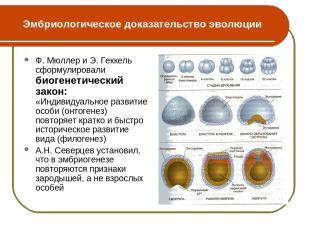 Эмбриологическое доказательство эволюции Ф. Мюллер и Э. Геккель сформулировали б