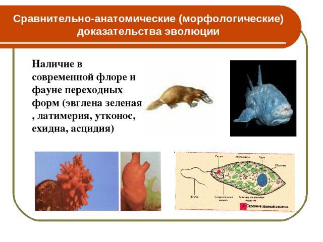 Сравнительно-анатомические (морфологические) доказательства эволюции Наличие в современной флоре и фауне переходных форм (эвглена зеленая , латимерия, утконос, ехидна, асцидия)