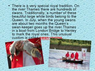 There is a very special royal tradition. On the river Thames there are hundreds