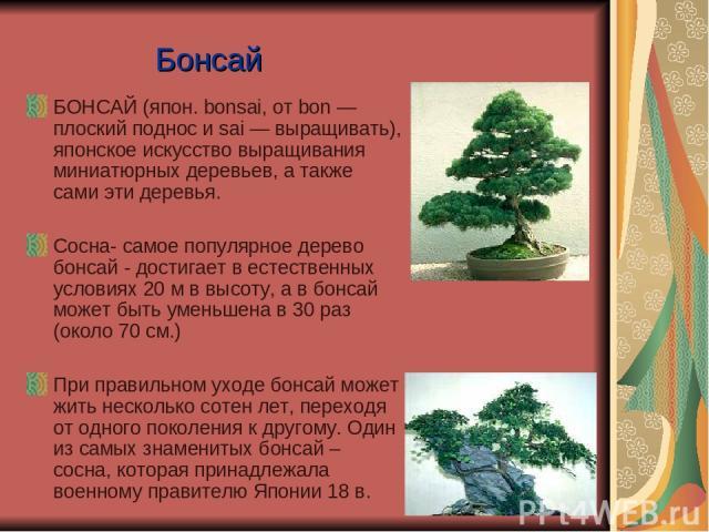 Бонсай БОНСАЙ (япон. bonsai, от bon — плоский поднос и sai — выращивать), японское искусство выращивания миниатюрных деревьев, а также сами эти деревья. Сосна- самое популярное дерево бонсай - достигает в естественных условиях 20 м в высоту, а в бон…
