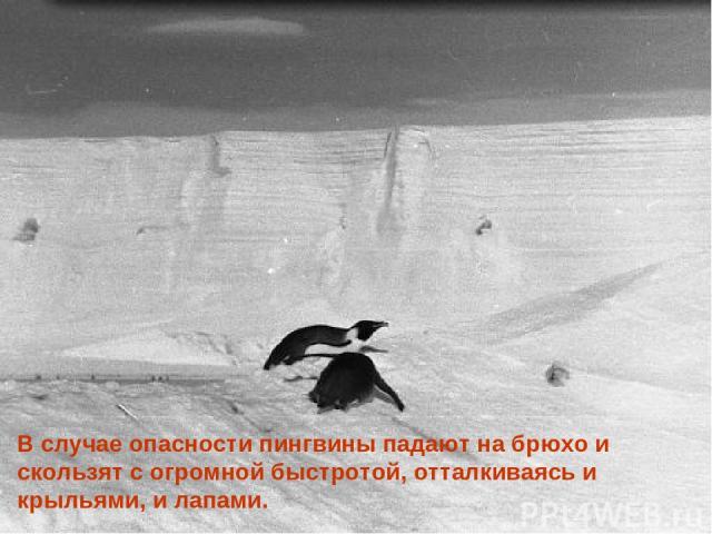 В случае опасности пингвины падают на брюхо и скользят с огромной быстротой, отталкиваясь и крыльями, и лапами.