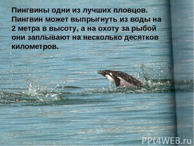 Пингвины одни из лучших пловцов. Пингвин может выпрыгнуть из воды на 2 метра в высоту, а на охоту за рыбой они заплывают на несколько десятков километров.