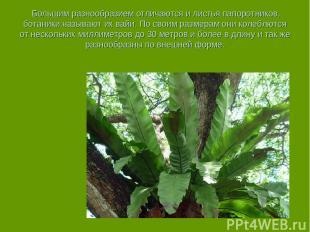 Большим разнообразием отличаются и листья папоротников, ботаники называют их ва