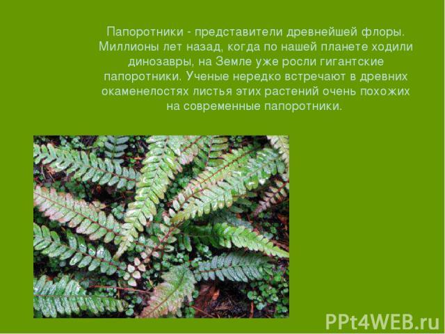 Папоротники - представители древнейшей флоры. Миллионы лет назад, когда по нашей планете ходили динозавры, на Земле уже росли гигантские папоротники. Ученые нередко встречают в древних окаменелостях листья этих растений очень похожих на современные …