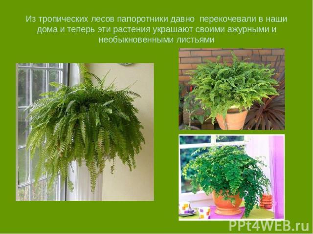 Из тропических лесов папоротники давно перекочевали в наши дома и теперь эти растения украшают своими ажурными и необыкновенными листьями