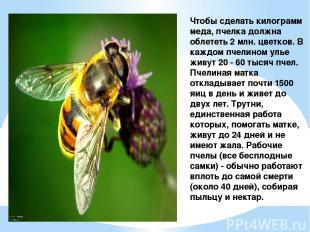 Чтобы сделать килограмм меда, пчелка должна облететь 2 млн. цветков. В каждом пч