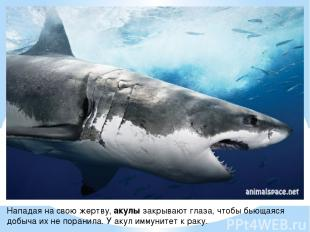 Нападая на свою жертву, акулы закрывают глаза, чтобы бьющаяся добыча их не поран