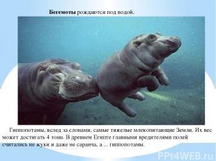 Бегемоты рождаются под водой. Гиппопотамы, вслед за слонами, самые тяжелые млеко