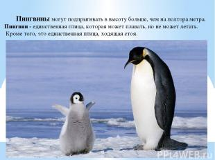 Пингвины могут подпрыгивать в высоту больше, чем на полтора метра. Пингвин - еди