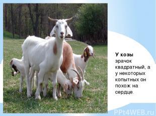 У козы зрачок квадратный, а у некоторых копытных он похож на сердце.