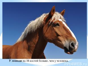 У лошади на 18 костей больше, чем у человека.