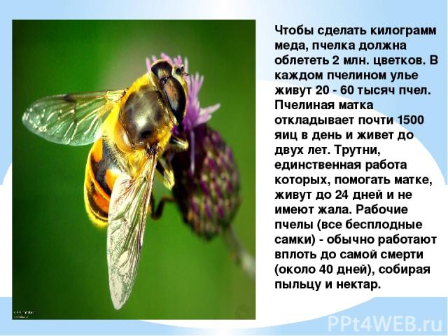 Чтобы сделать килограмм меда, пчелка должна облететь 2 млн. цветков. В каждом пчелином улье живут 20 - 60 тысяч пчел. Пчелиная матка откладывает почти 1500 яиц в день и живет до двух лет. Трутни, единственная работа которых, помогать матке, живут до…