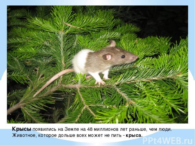 Крысы появились на Земле на 48 миллионов лет раньше, чем люди. Животное, которое дольше всех может не пить - крыса.  .