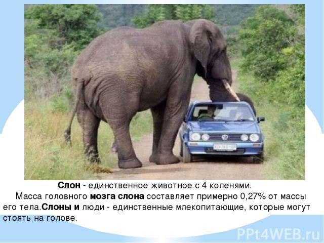 Слон - единственное животное с 4 коленями. Масса головного мозга слона составляет примерно 0,27% от массы его тела.Слоны и люди - единственные млекопитающие, которые могут стоять на голове.