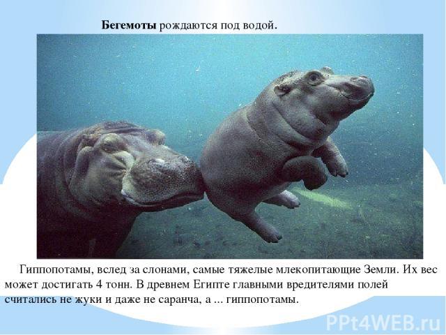 Бегемоты рождаются под водой. Гиппопотамы, вслед за слонами, самые тяжелые млекопитающие Земли. Их вес может достигать 4 тонн. В древнем Египте главными вредителями полей считались не жуки и даже не саранча, а ... гиппопотамы.