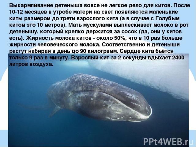 Выкармливание детеныша вовсе не легкое дело для китов. После 10-12 месяцев в утробе матери на свет появляются маленькие киты размером до трети взрослого кита (а в случае с Голубым китом это 10 метров). Мать мускулами выплескивает молоко в рот детены…