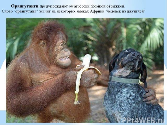 Орангутанги предупреждают об агрессии громкой отрыжкой. Слово