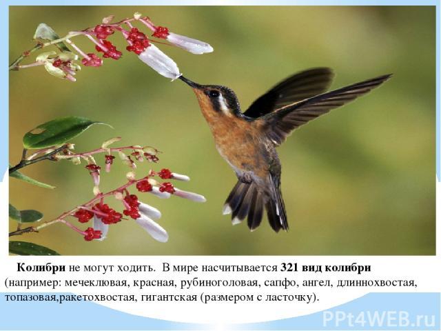 Колибри не могут ходить. В мире насчитывается 321 вид колибри (например: мечеклювая, красная, рубиноголовая, сапфо, ангел, длиннохвостая, топазовая,ракетохвостая, гигантская (размером с ласточку).