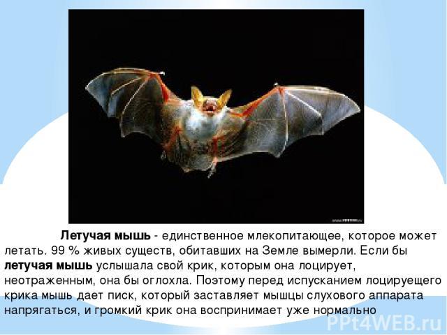 Летучая мышь - единственное млекопитающее, которое может летать. 99 % живых существ, обитавших на Земле вымерли. Если бы летучая мышь услышала свой крик, которым она лоцирует, неотраженным, она бы оглохла. Поэтому перед испусканием лоцируещего крика…