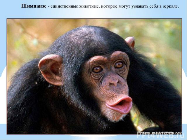 Шимпанзе - единственные животные, которые могут узнавать себя в зеркале.