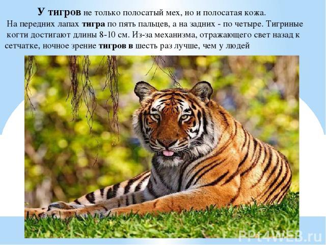 У тигров не только полосатый мех, но и полосатая кожа. На передних лапах тигра по пять пальцев, а на задних - по четыре. Тигриные когти достигают длины 8-10 см. Из-за механизма, отражающего свет назад к сетчатке, ночное зрение тигров в шесть раз луч…