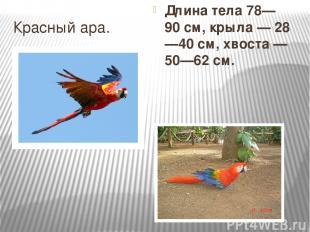 Красный ара. Длина тела 78—90см, крыла— 28—40см, хвоста— 50—62см.
