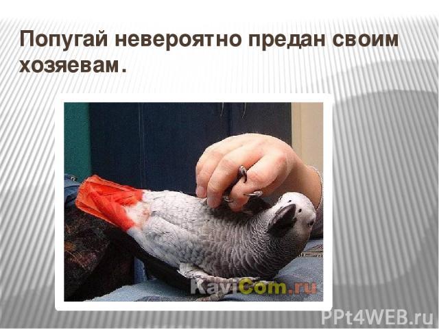 Попугай невероятно предан своим хозяевам.