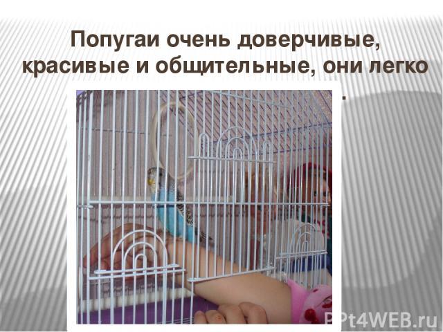 Попугаи очень доверчивые, красивые и общительные, они легко поддаются обучению.