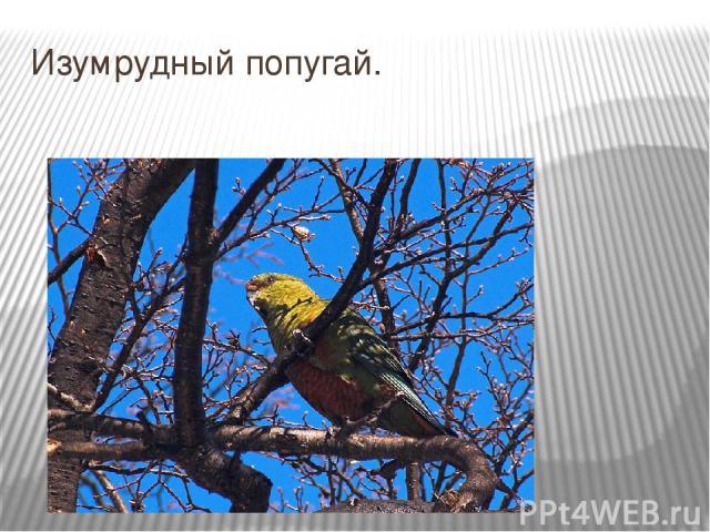 Изумрудный попугай.