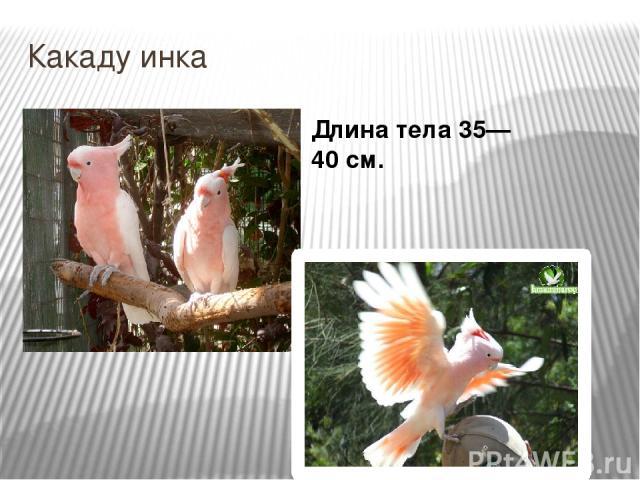 Какаду инка Длина тела 35—40см.