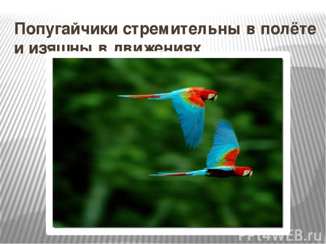 Попугайчики стремительны в полёте и изящны в движениях.