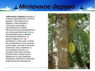 Молочное дерево «Молочные» деревья растут в странах Центральной и Южной Америки.