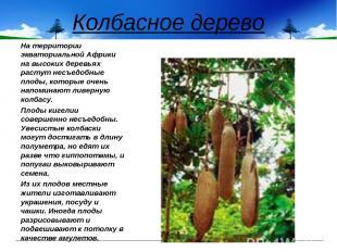Колбасное дерево На территории экваториальной Африки на высоких деревьях растут