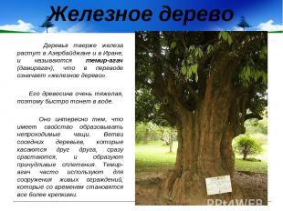 Железное дерево Деревья тверже железа растут в Азербайджане и в Иране, и называю