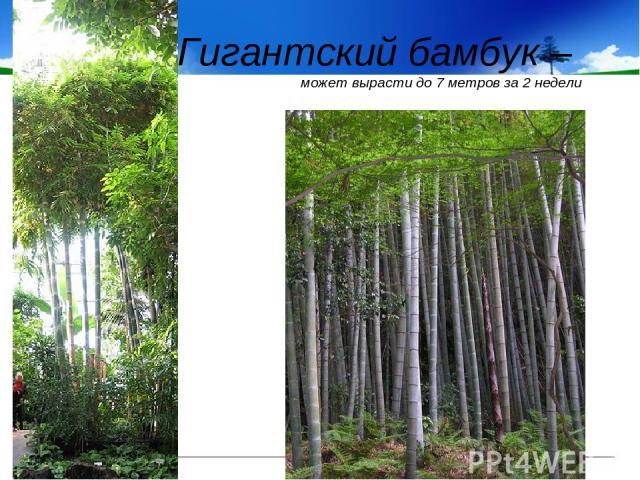 Гигантский бамбук – может вырасти до 7 метров за 2 недели