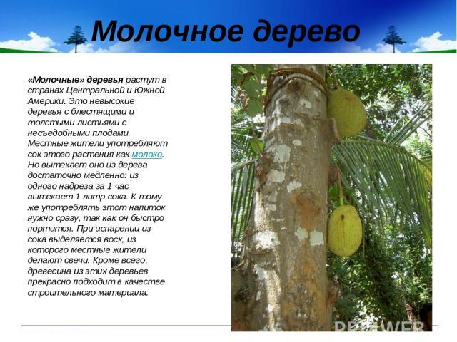 Молочное дерево «Молочные» деревья растут в странах Центральной и Южной Америки. Это невысокие деревья с блестящими и толстыми листьями с несъедобными плодами. Местные жители употребляют сок этого растения как молоко. Но вытекает оно из дерева доста…
