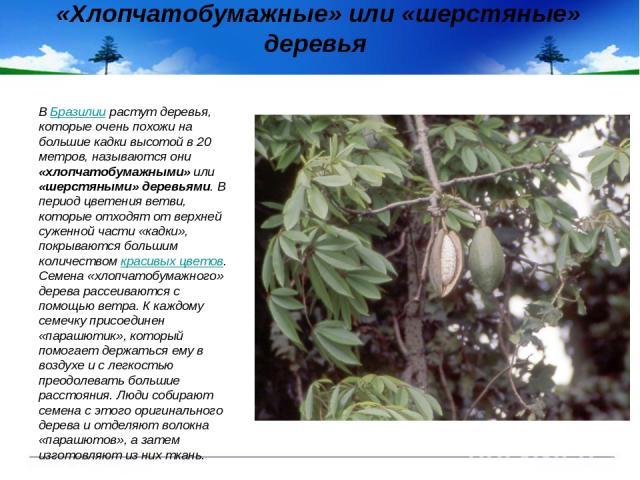 «Хлопчатобумажные» или «шерстяные» деревья В Бразилии растут деревья, которые очень похожи на большие кадки высотой в 20 метров, называются они «хлопчатобумажными» или «шерстяными» деревьями. В период цветения ветви, которые отходят от верхней сужен…