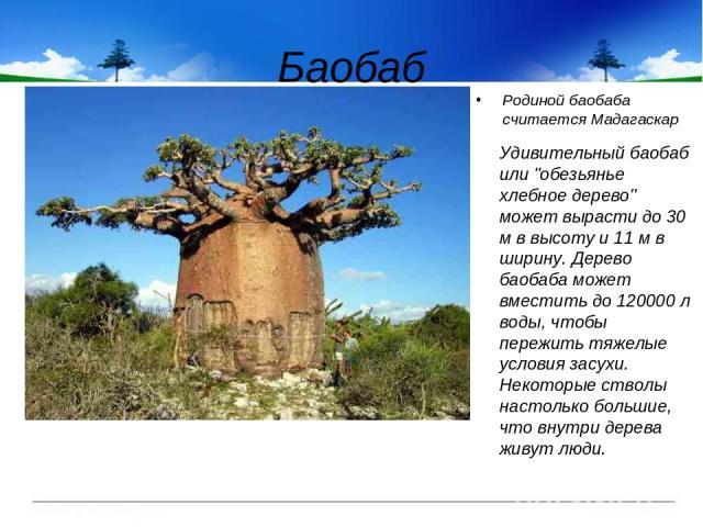 Баобаб Родиной баобаба считается Мадагаскар Удивительный баобаб или