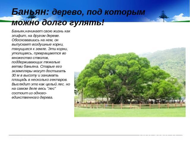 Баньян: дерево, под которым можно долго гулять! Баньян,начинает свою жизнь как эпифит, на другом дереве. Обосновавшись на нем, он выпускает воздушные корни, тянущиеся к земле. Эти корни, утолщаясь, превращаются во множество стволов, поддерживающих т…