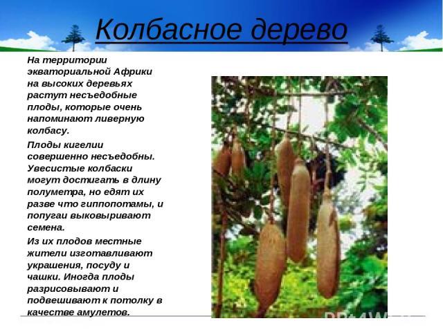 Колбасное дерево На территории экваториальной Африки на высоких деревьях растут несъедобные плоды, которые очень напоминают ливерную колбасу. Плоды кигелии совершенно несъедобны. Увесистые колбаски могут достигать в длину полуметра, но едят их разве…